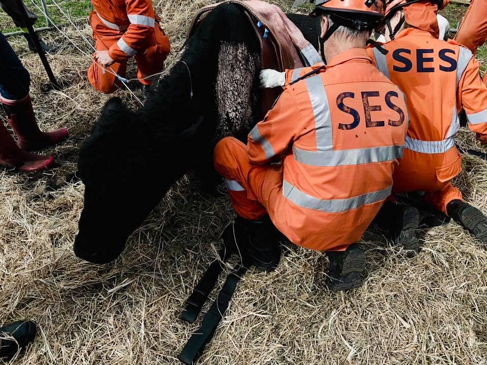 SES Rescue 800kg Pet Bull Named George