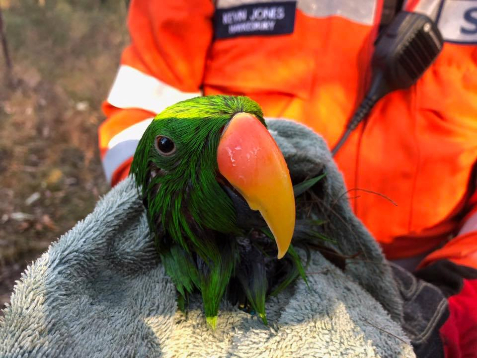Eclectus Parrot Rescued by NSW SES Hawkesbury Volunteers